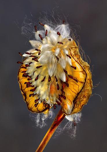 Richard Fischer - Asclepia Seeds